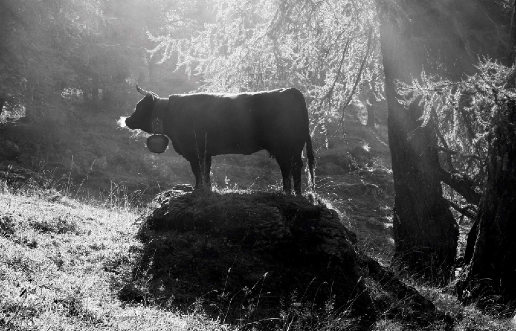 Vaches 18