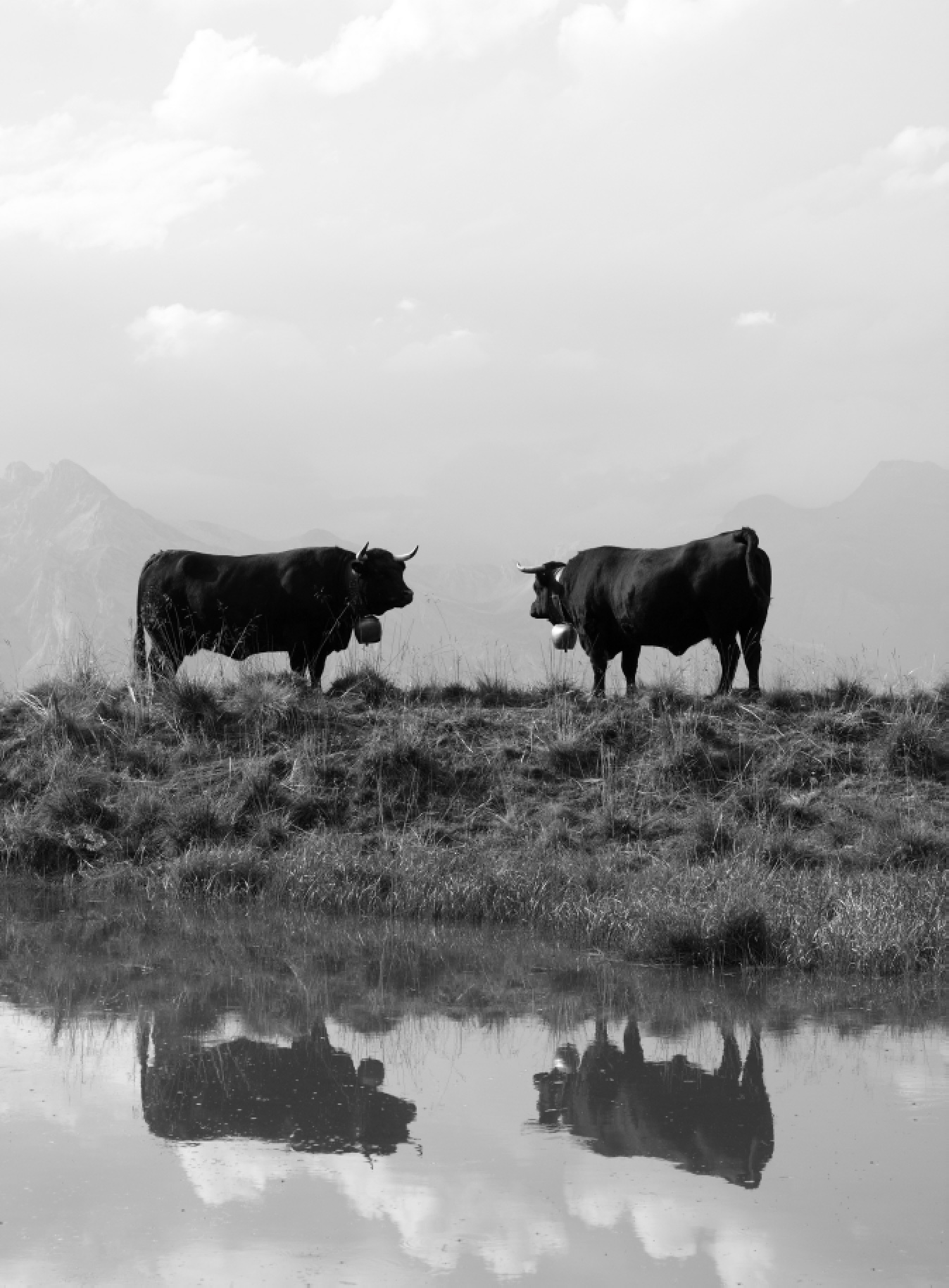Vaches 6