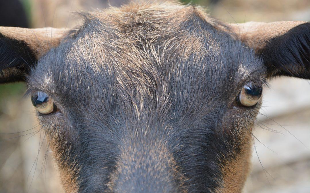 1964, l'étrange maladie des chèvres anniviardes : autopsie d'une hilarante fake news